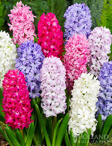 Mixed Hyacinths Value Pack mixed hyacinths, fragrant hyacinth bulbs for sale, hyacinth bulbs, where to buy hyacinths, mixed flower bulbs,