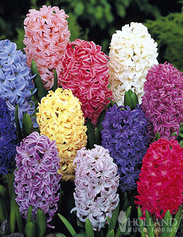 Mixed Hyacinths (5-Pack)