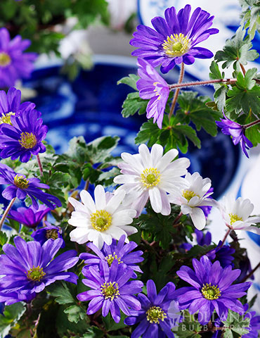 Mixed Windflowers anemone blanda, mixed windflower, grecian windflower, anemone mix, mixed anemone, flower bulb deals, sale on flowers