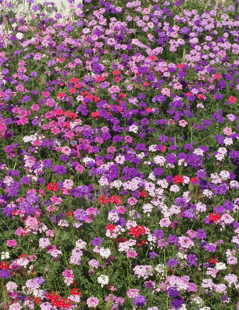 Moss Verbena Ground Cover-Seed Mat