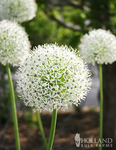 Mount Everest Allium - 81114