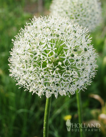 Mount Everest Allium allium giganteum, allium nigrum, alliums, allium flower white, white flower allium , dutch allium bulbs
