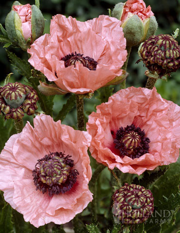 Mrs. Perry Oriental Poppy