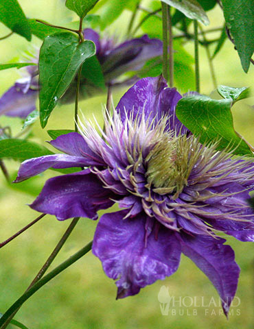 Multi-Blue Double Flowering Clematis - 77454