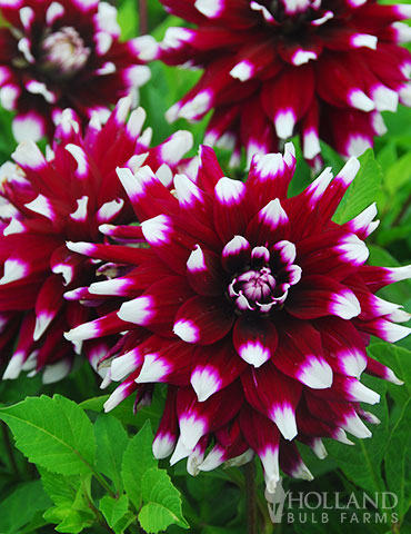 Mystery Day Decorative Dahlia - 74160