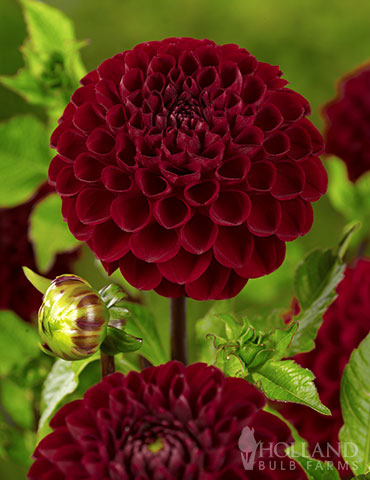 Natal Dahlia deep red flowers, deep red dahlias, pompon dahlia, natal dahlia, tall plants with red flowers, dahlia pompon growing, dahlia pompon height, pompon dahlias in pots