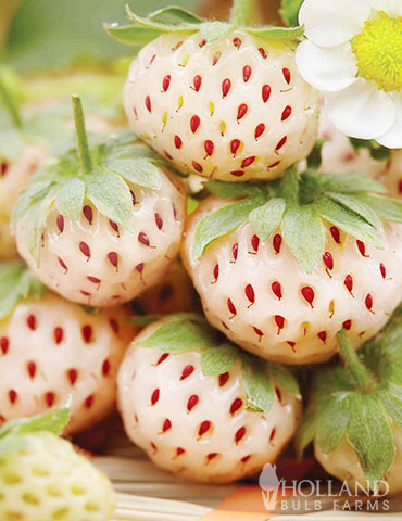 Natural Albino Pineberry
