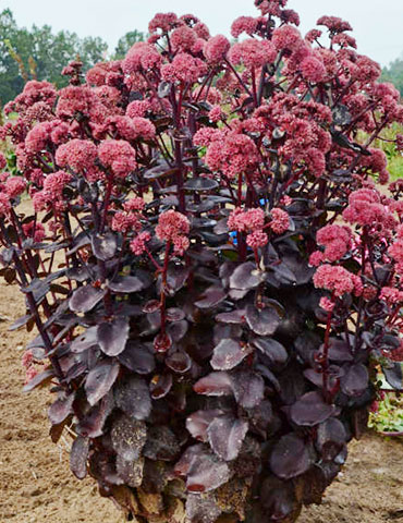 Night Embers Sedum - 74108