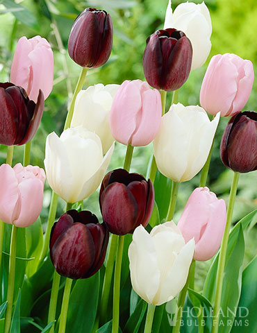 Night in Paris Tulip Mix tulips, tulip bulbs, tulip bulbs to buy, tulip bulbs online, colorblends, tulip bulbs sale, wholesale bulbs holland