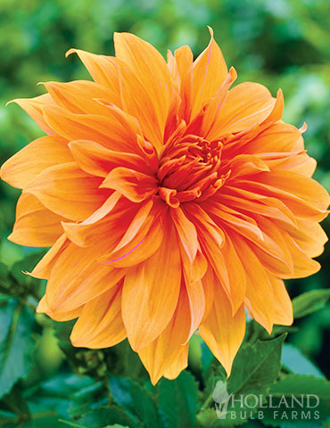 Orange Decorative Dahlia