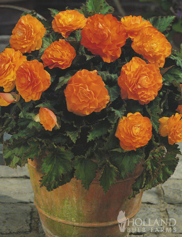 Orange Double Begonia - 71104