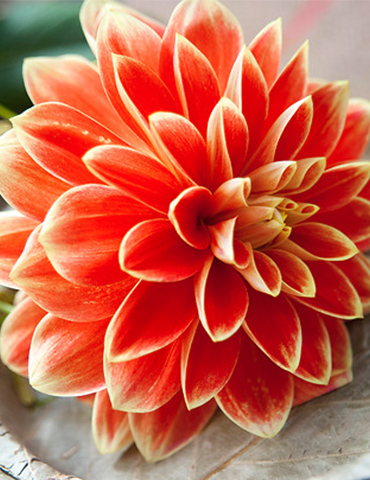 Orange Glory Patio Dinnerplate Dahlia