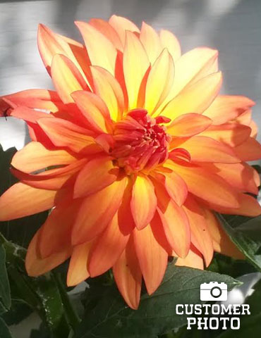 Orange Nugget Border Dahlia - 74110