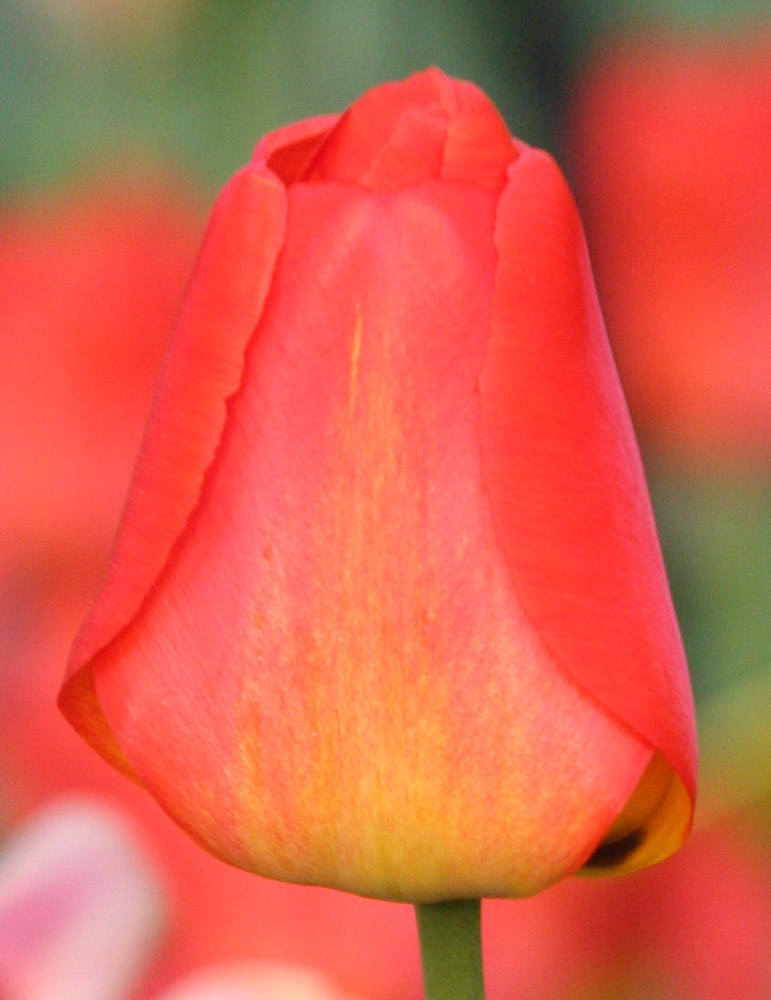 Orange Queen Darwin Hybrid Tulip