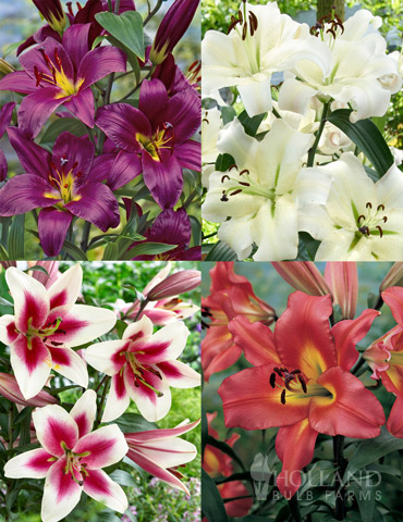 Orienpet Lily Collection