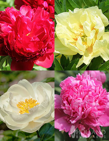 Peony Cutting Garden Collection
