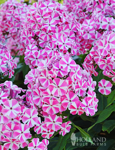 Peppermint Twist Tall Phlox