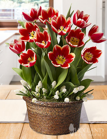 Peppy Peppermint Potted Bulb Garden pre-potted tulips, pre-potted tulip bulbs, tulip garden, indoor tulip garden, potted bulb garden, indoor garden gifts, gifts for gardeners, potted bulb gardens, living gardens