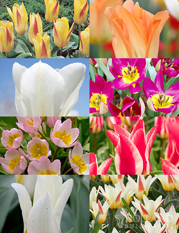 Perennial Species Tulip Collection