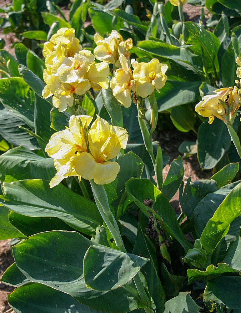 Pfitzers Primrose Yellow Dwarf Canna