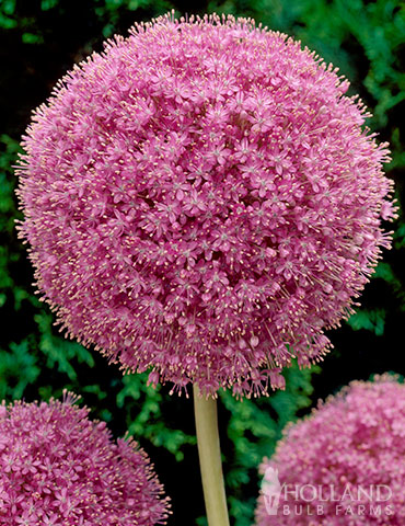 Pink allium giganteum 81138 pink allium giganteum 81138 mightylinksfo