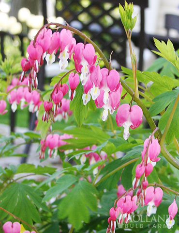 Pink Bleeding Hearts - 77256