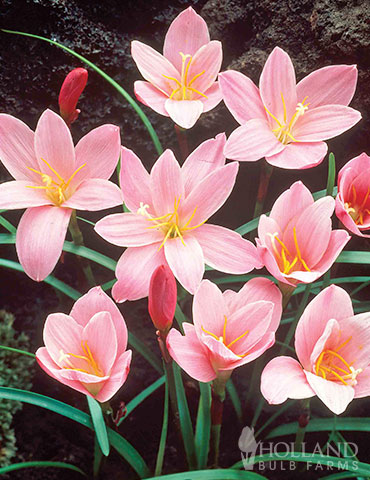 Pink Fairy Lilies