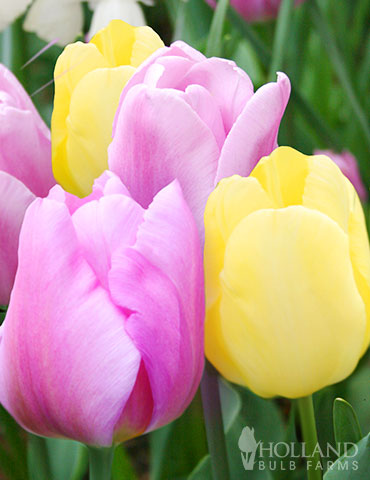 Pink Lemonade Tulip Duo tulips, tulip bulbs, tulip bulbs to buy, tulip bulbs online, colorblends, tulip bulbs sale, wholesale bulbs holland