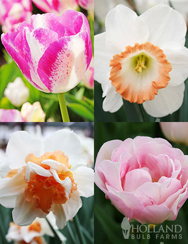 Pink Tulip & Daffodil Collection