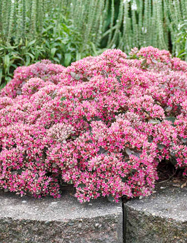 Popstar Sedum popstar sedum, rock n grow sedum, bare root sedum, drought tolerant perennials, perennials for full sun, late blooming perennials