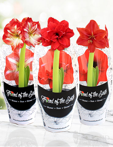 Potted Amaryllis Trio Collection pre-potted amaryllis, amaryllis gifts, potted amaryllis, red amaryllis, bi-color amaryllis, gifts for gardeners, how to grow amaryllis, how to plant amaryllis