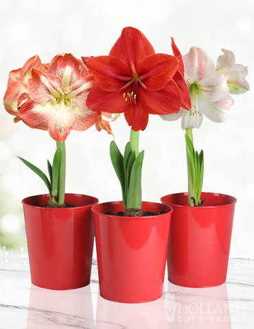 Premium Amaryllis Kit Collection