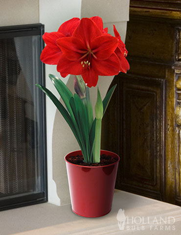 Premium Red Lion Amaryllis Kit