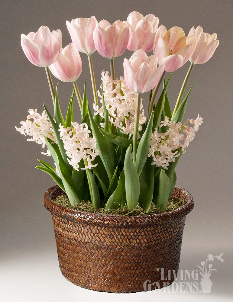 Pretty in Pink Potted Bulb Garden indoor plant garden, tulips blooming in pots, send potted plants, best bulb gifts, potted bulb garden gifts, indoor flower bulb kits, potted tulips for sale, potted hyacinths for sale