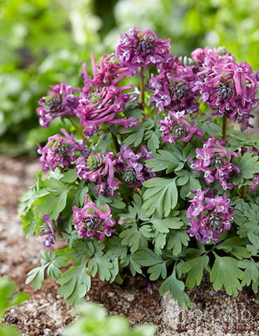Purple Bird Corydalis - 86144