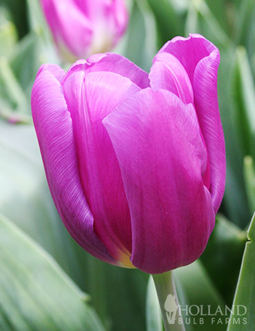 Purple Flag Triumph Tulip