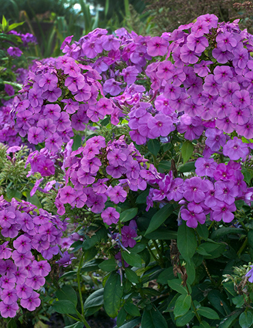 Purple Flame Tall Phlox