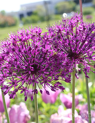 Purple Sensation Allium - 81119