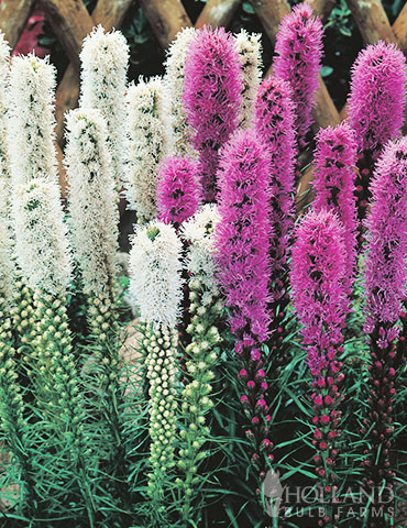 Purple & White Liatris