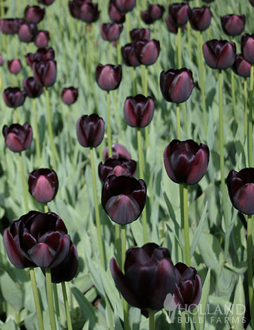 Queen of Night Single Late Black Tulip - 88292