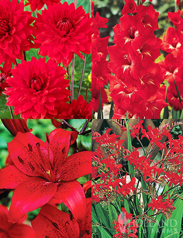 Radical Red Summer Flower Collection red flowers, red gladiolus, red lilies, crocosmia lucifer, deals of flower bulbs, deals on plants, cheap flowers for sale, buy perennials online, buy lilies online