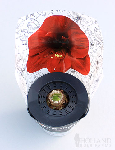 Barbosa Potted Amaryllis - Gift Ready - 92210