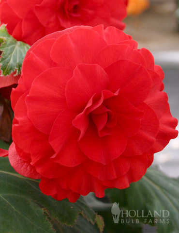 Red Double Begonia
