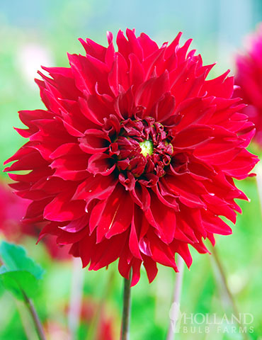 Red Fubuki Dahlia Jumbo Pack