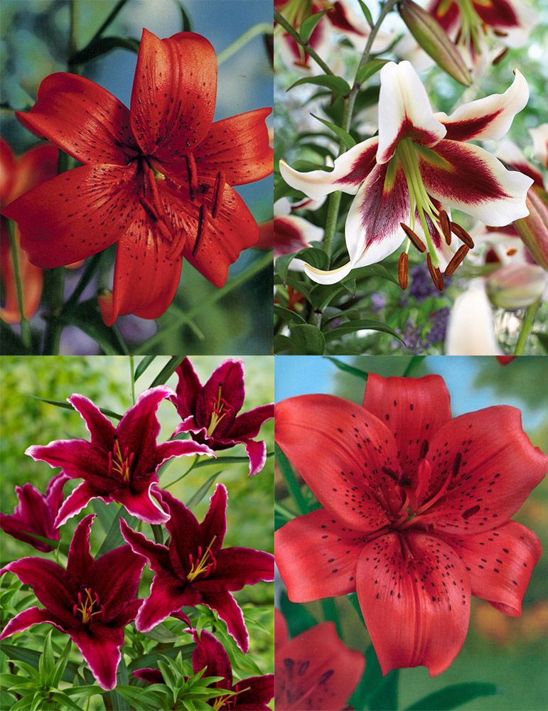 Red Hot Lily Collection