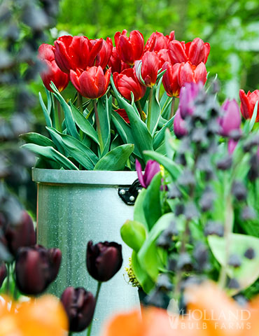 Red Impression Darwin Hybrid Tulip - 88287
