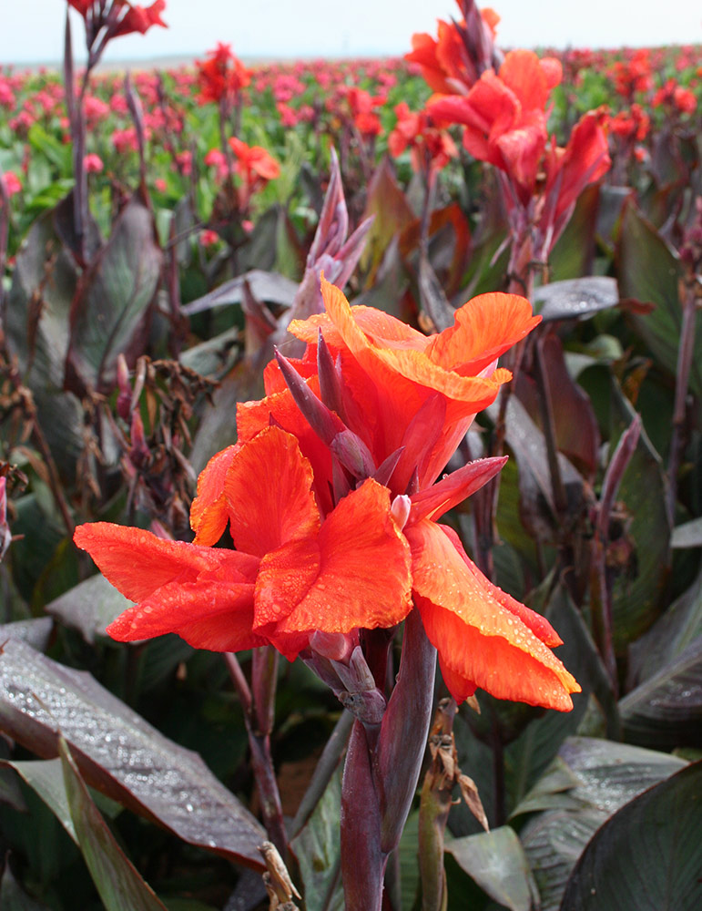 Red King Humbert Canna - 73110