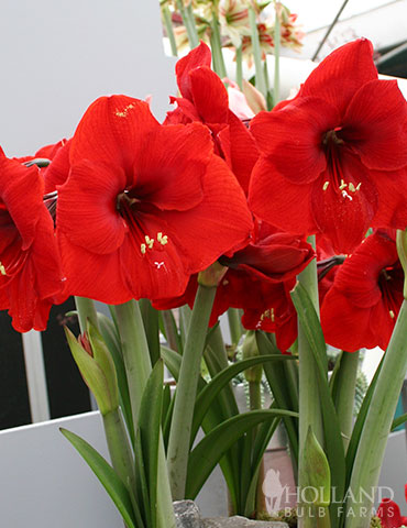 Red Lion Amaryllis Value Pack