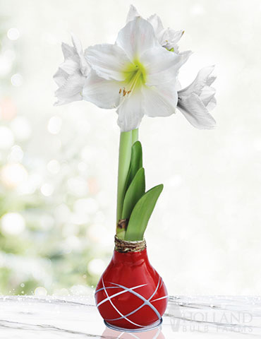 Red Picasso Waxed Amaryllis