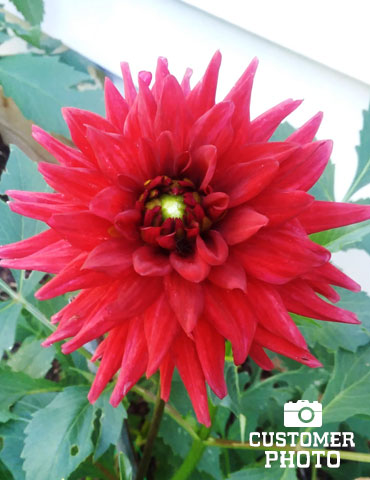 Red Pygmy Border Dahlia - 74153